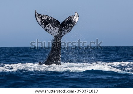 A Humpback whale (Megaptera novaeangliae) raises its powerful tail over the Atlantic Ocean. Many Atlantic Humpbacks feed in the nutrient-rich waters off New England and Newfoundland.  - stock photo