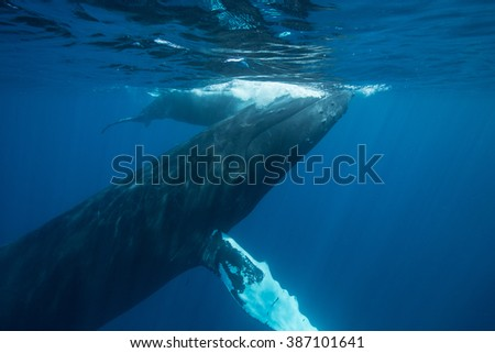 A Humpback whale (Megaptera novaeangliae) rises to the surface to breathe. This large, baleen species of cetacean grows to well over 45 feet in length.