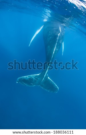 A Humpback whale (Megaptera novaeangliae) surfaces to breathe. These whales are baleen cetaceans and are quite acrobatic, known for breaching as well as their complex songs. - stock photo