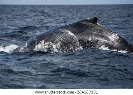 A Humpback whale (Megaptera novaeangliae) swims on the surface of the Atlantic Ocean. This endangered species migrates from the Northern Atlantic to the Caribbean each winter to breed or give birth. - stock photo