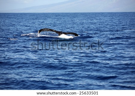 "a ""humpback whale"" ""Megaptera novaeangliae"" whale diving into the warm blue waters of Maui Hawaii showing off its massive tail - stock photo"