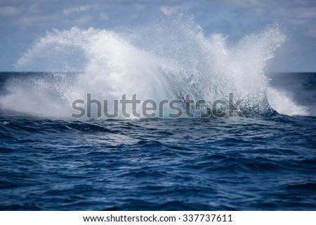 A Humpback whale (Megaptera novaengliae) crashes into the Atlantic Ocean after breaching. Humpbacks are massive baleen whales, ranging from 39-52 feet long, with many interesting behaviors.  - stock photo