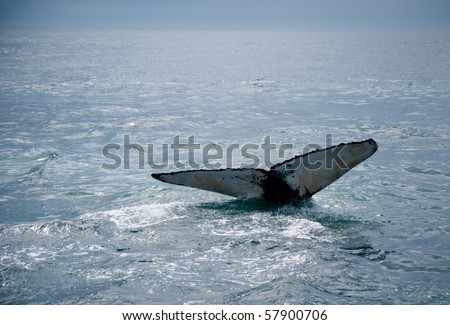A humpback whale's tail in the ocean. Taken at the shores of Cape Cod - stock photo