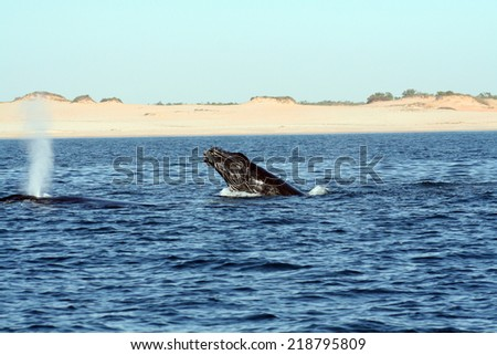A humpback whale sticks its head of the water for a look - stock photo