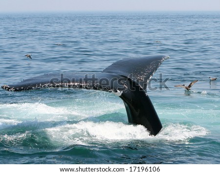 A humpback whale tail diving off of Provincetown Cape Cod. - stock photo