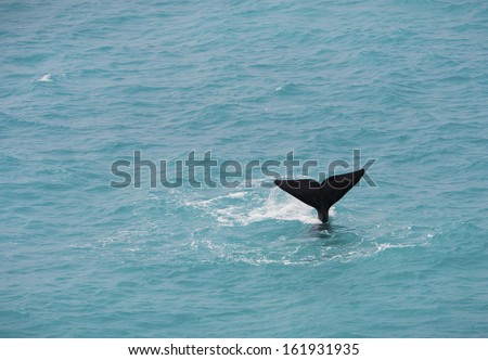 A humpback whale tail fin sticks up out of the ocean. - stock photo
