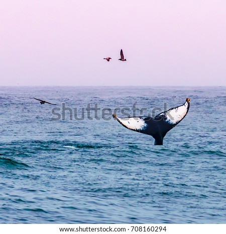 A humpback whale waves its tail, as seagulls fly by, at sunset on a whale watching excursion in the Monterey Bay, along the Pacific Coast of central California, near Big Sur.