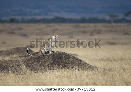 A hungry cheetah is looking for something to eat, Masai Mara, Republic of Kenya