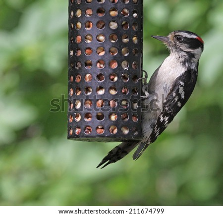 A hungry Downy Woodpecker (Picoides pubescens) looking peanuts from a peanut feeder.  Shot in Kitchener, Ontario, Canada.  - stock photo