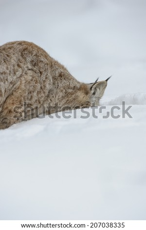 A hungry Eurasian Lynx with its head buried in snow looking for food during  the harsh Norwegian winter. - stock photo