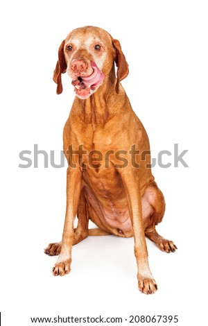 A hungry Vizsla breed dog sitting and licking lips with her tongue