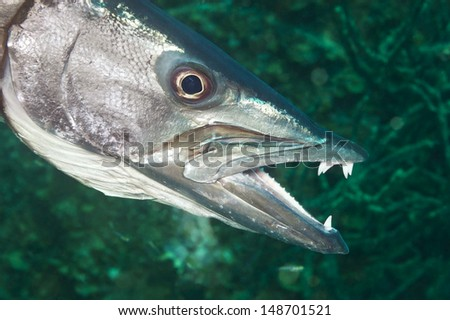 A hunting barracuda shows its long, sharp teeth just before grabbing a fish for his lunch.