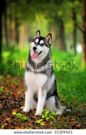 a husky look at me - stock photo