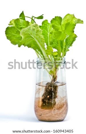 A hydroponics grow vegetables - stock photo