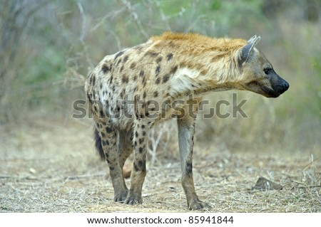 A Hyena approaches the den - stock photo