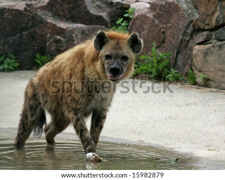 A hyena standing over a bone.