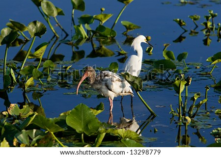 A Ibis And A Egret Wading - stock photo