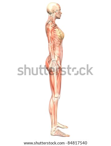 A illustration of the side view of the female muscular anatomy, semi transparent showing the skeletal anatomy. Very educational and detailed. - stock photo