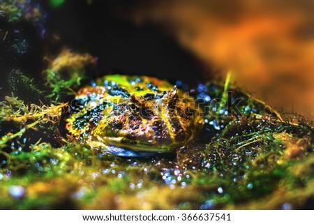 a Image exotic amphibians Brazilian horned toad - stock photo