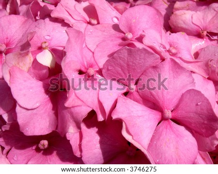 A image of a close up of Hydrangeas flowers, with bits of water on them.