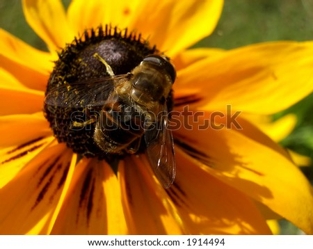 A image of a daisy flower close up plus a bee pollinating a the flower.