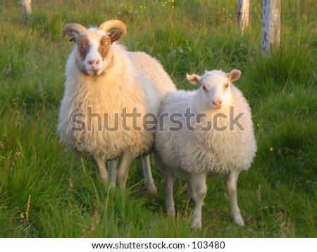 a image of two sheep in an island near Iceland - stock photo