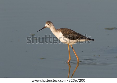 a immature of Black-winged Stilt walking through the swamp / Himantopus himantopus - stock photo