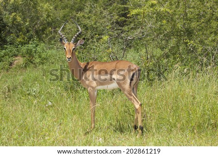 A Impala Ram (Male Antelope) Standing in its Natural Habitat during the Summer Months in South Africa's Kruger National Park