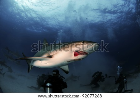 A injured Caribbean reef shark displays a broken jaw from a fisherman's hook. - stock photo