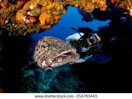 A inquisitive potato grouper, epinephelus tukula, swimming close by a scuba diver  - stock photo