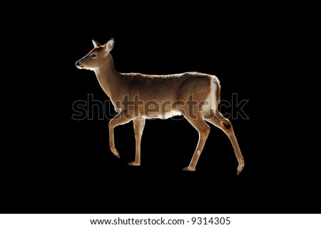 A isolated or extracted picture of a doe taken in a forest in Indiana