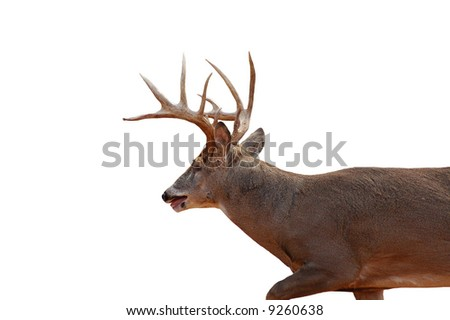 A isolated picture of a buck deer taken in a forest in indiana - stock photo