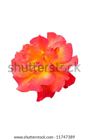 A isolated picture of a multi colored rose