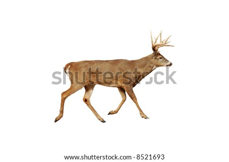 A isolated picture of a twelve point buck deer taken in a forest in Indiana - stock photo