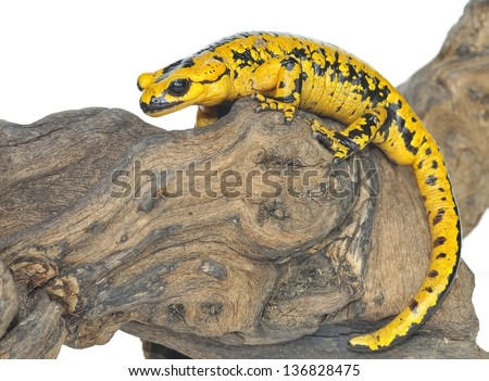 A isolated salamander on a white background. - stock photo