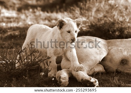 A isolated young white lion cub in this image.