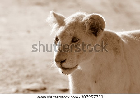A isolated young white lion cub in this image.South Africa