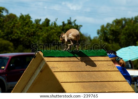 A Italian greyhound at a dog agility trial going over an A Frame. - stock photo