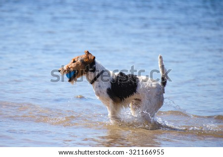 A Jack Russel Terrier running with a ball running through the water at the beach on a sunny morning - stock photo