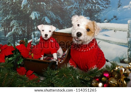 A jack russell dog and puppy sit together in a holiday pose in a wooden sleigh with poinsettias and Christmas bells. - stock photo