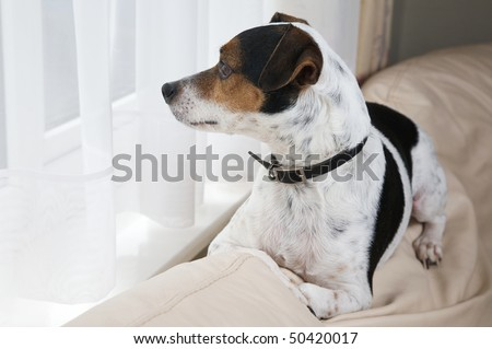 A Jack Russell dog sits on the back of the couch waiting for his master to come home - stock photo