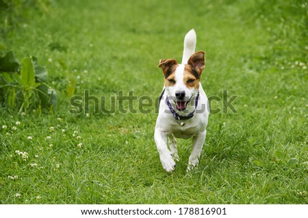 A Jack Russell in a field in the summer  - stock photo