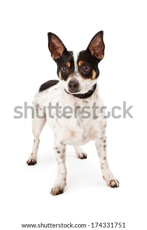 A Jack Russell Terrier and Chihuahua mixed breed dog standing against a white backdrop - stock photo
