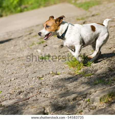 A Jack Russell Terrier dog in mid-stride