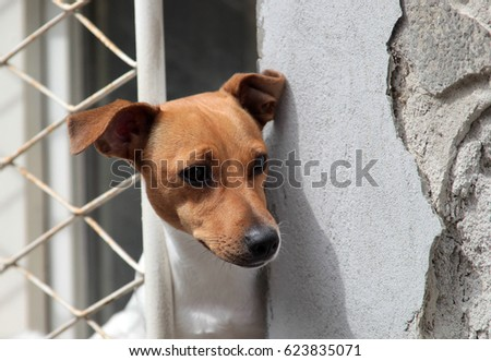 A Jack Russell Terrier dog looks out the barred window of a house.