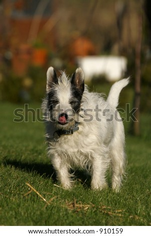 A jack russell terrier licking his lips while bathed in sunlight