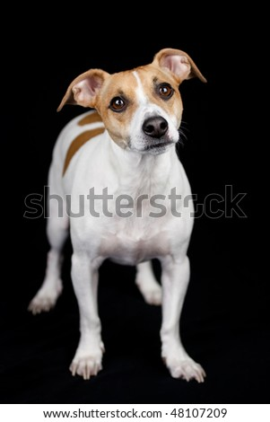 A jack russell terrier posing for a portrait - stock photo