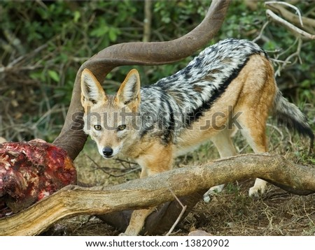 A Jackal sneaks into feed as the lions left their kill - stock photo