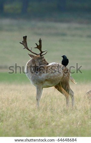A Jackdaw perches on the flank of a Fallow Deer buck during grooming in the hope of a free meal of any parasites - stock photo