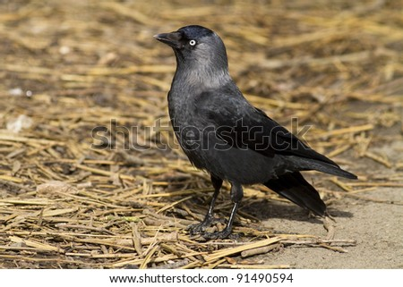 A jackdaw stood on straw in sunlight. - stock photo